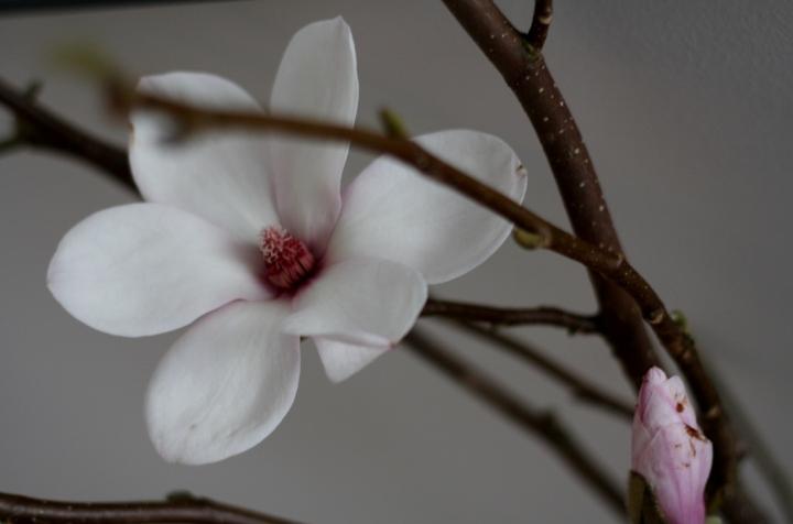 magnolia_b1 (1024x677)