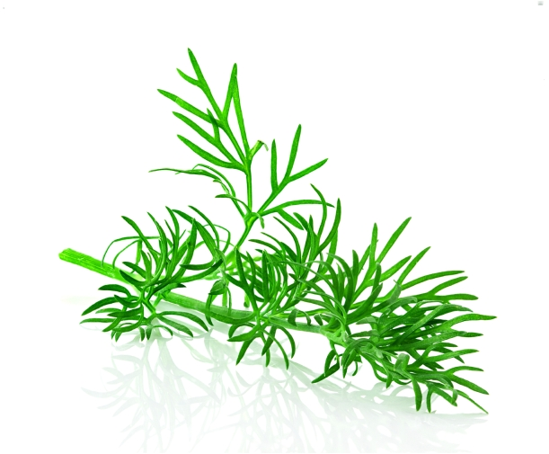 dill herb leaf isolated